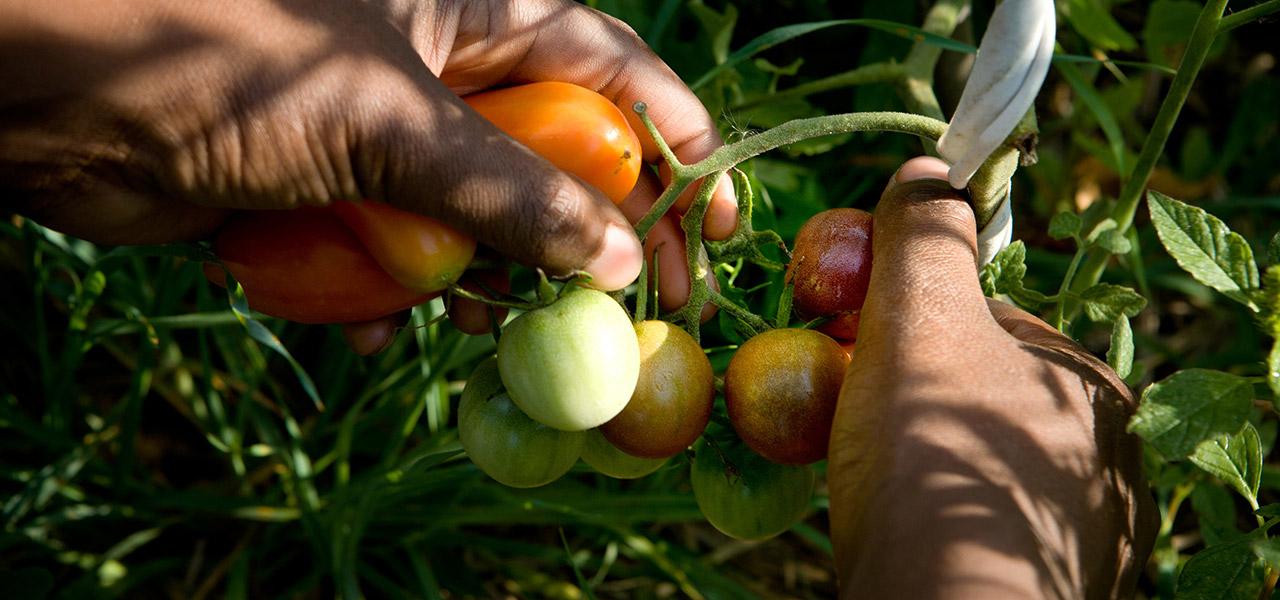 Jardin vivrier agroécologique