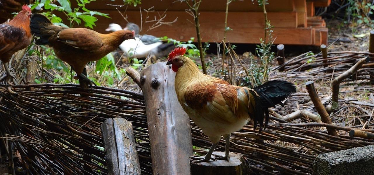 Elever des poules en agroécologie
