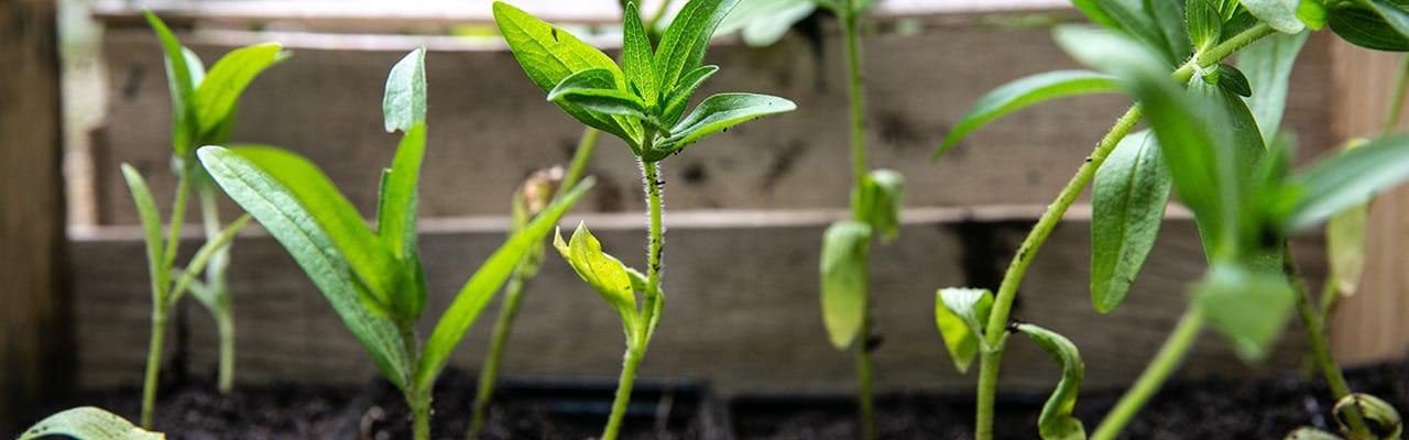 Produire ses plants potagers