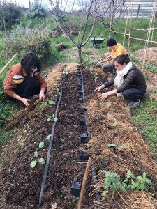 Les volonterres en plein paillage au jardin en mars